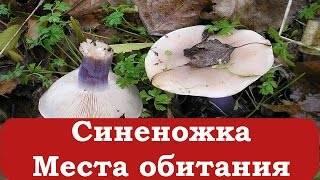 Синяя ножка — что это за гриб, подробное описание