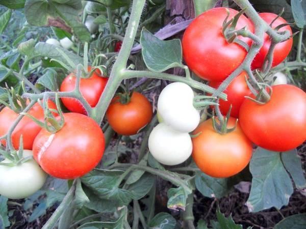 Томат яблонька россии: описание и характеристика сорта, особенности выращивания помидоров, отзывы тех, кто сажал, фото