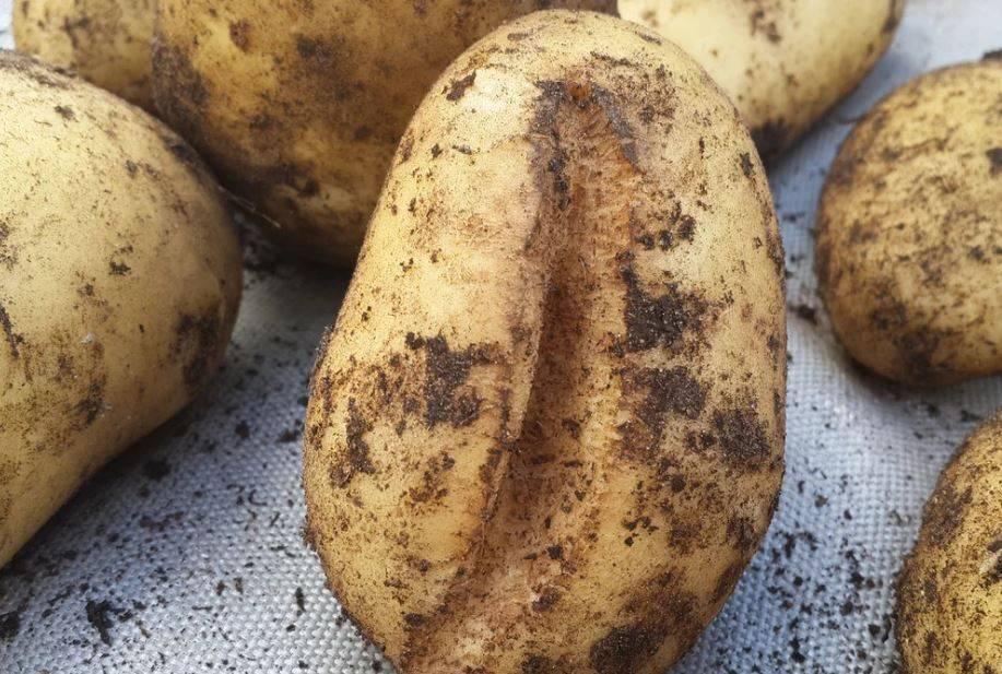Какой тип плода у картофеля? плоды пасленовых