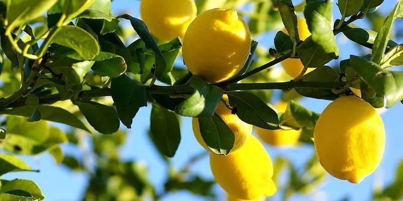 Как привить лимон в домашних условиях и прививка в расщеп (видео), где взять черенок и когда лучше прививать комнатный лимон