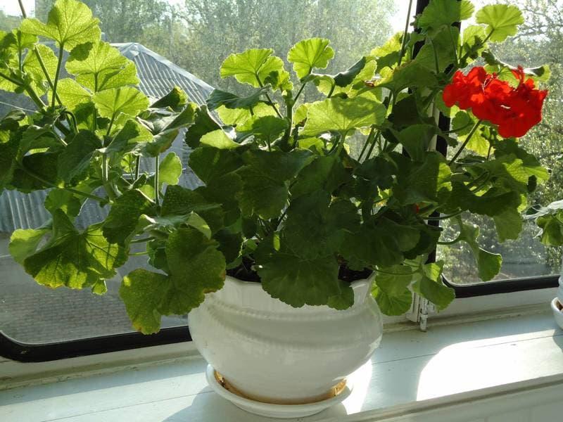 Почему не цветет герань? что делать, если она растет вверх и дает листву, но не цветет? как устранить проблему и заставить герань зацвести?