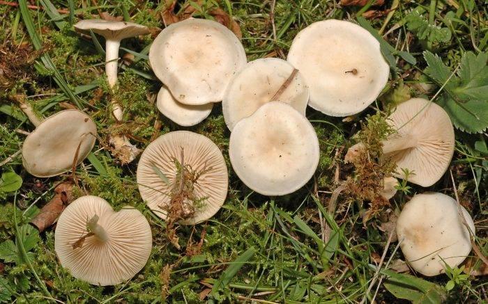 Говорушка (гриб): фото, описание, как готовить