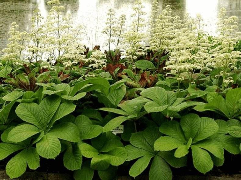 Роджерсия: посадка,уход,выращивание,фото,видео,сорта.   растюнька