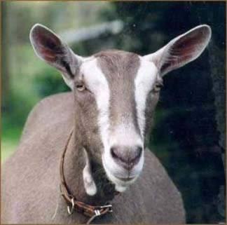 Тоггенбургская порода коз: описание + фото
