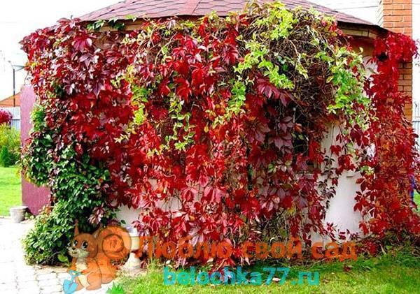Выращивание Девичьего винограда