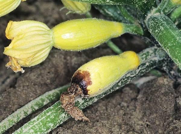 Почему гниют кабачки: маленькие завязи на кустах, плоды, кончики