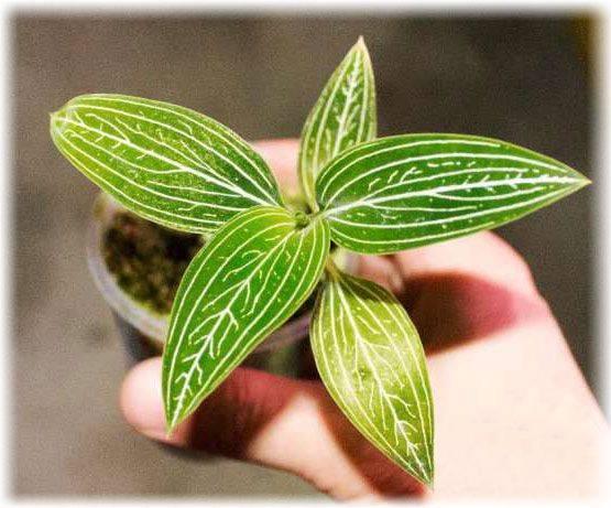 Драгоценная орхидея лудизия: как угодить восточной красавице?