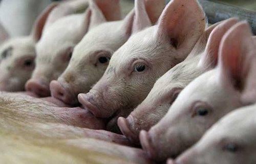 Бизнес-план по разведению свиней - «жажда» - бизнес-журнал