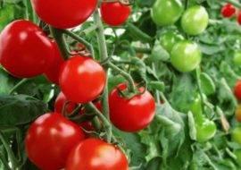 """Томат жонглер - описание сорта, урожайность, фото и отзывы садоводов - журнал """"совхозик"""""""