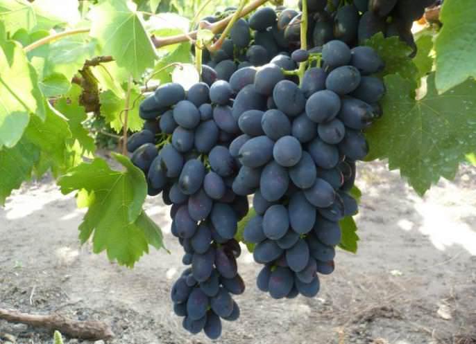 Виноград кодрянка: описание и особенности выращивания сорта