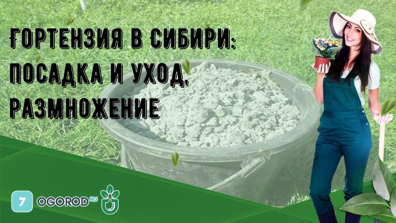 Гортензии из семян (19 фото): как выглядят семена и как из них вырастить гортензию? как посадить в домашних условиях? выращивание рассады дома