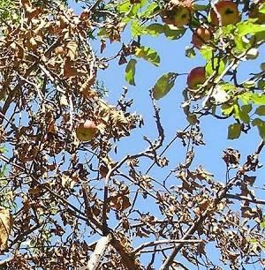 На яблоне сохнут листья — что делать?