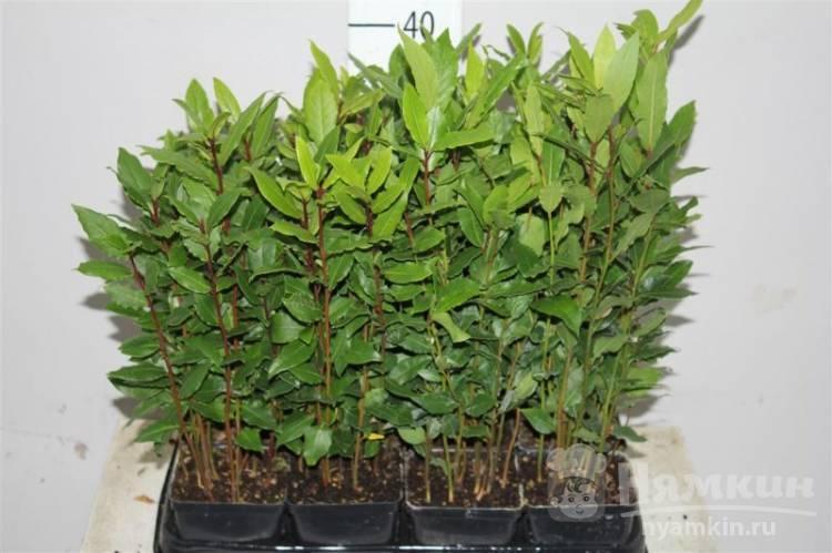 Лавровый лист: выращивание в домашних условиях, уход, разведение и описание с фото - sadovnikam.ru