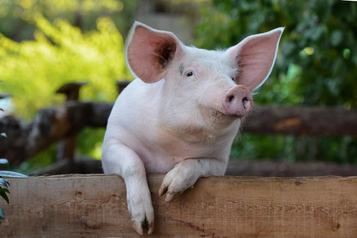 Кормление и правильный рацион свиней