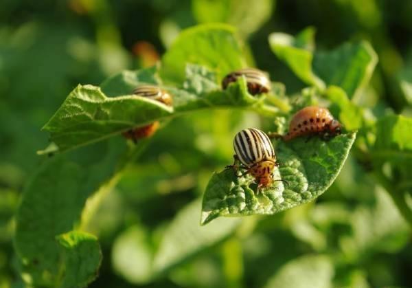 Средства от колорадского жука – обрабатываем огород без «химии»