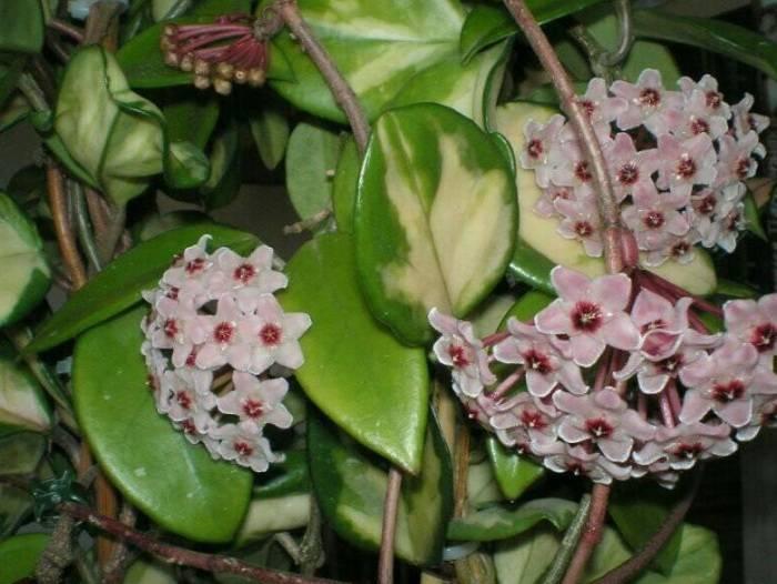 Сорта комнатного растения хойя: белла, керри, мясистая, лакуноза, матильда, линеарис и другие