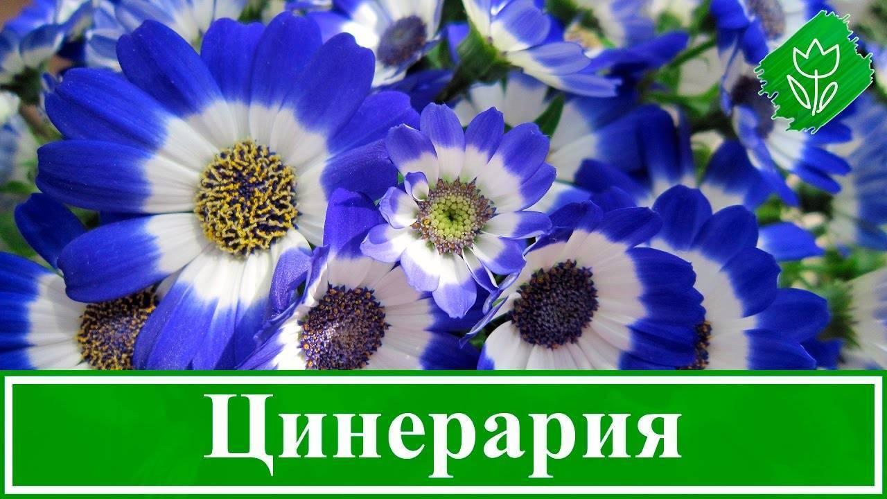 Цинерария: выращивание из семян в саду