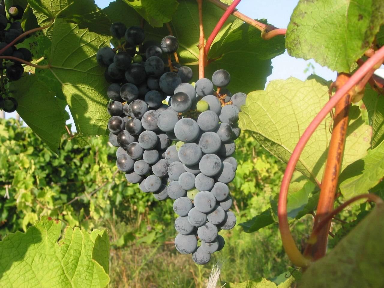 Виноград «триумф»: характеристика и описание сорта
