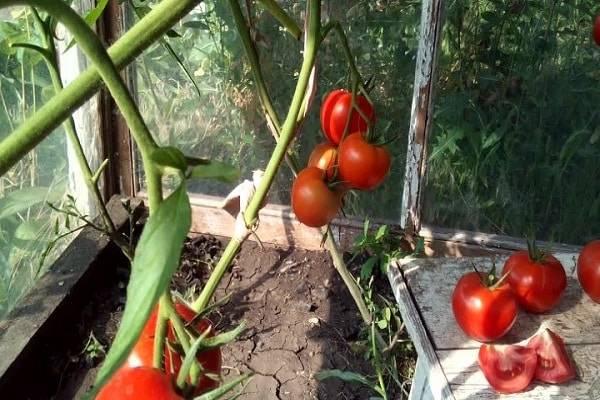 Описание сорта томата тайлер, его характеристика и урожайность