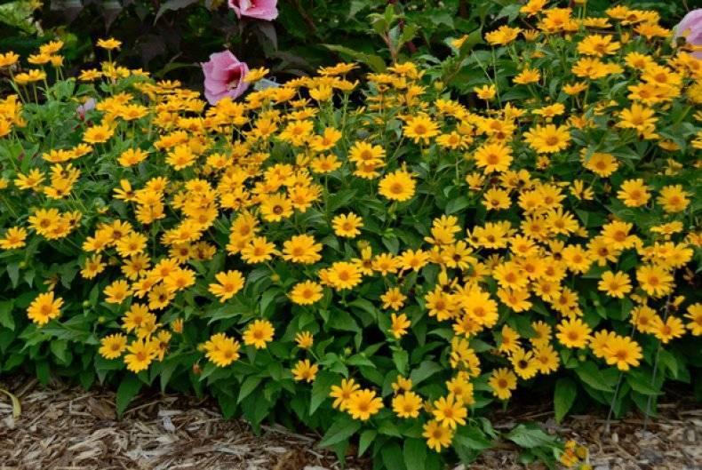Гелиопсис пестролистный: посадка, уход и размножение, подробное описание и фото цветов