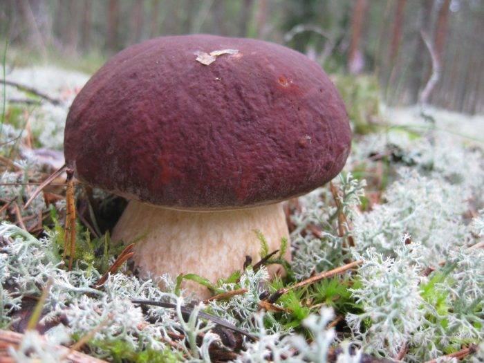 Как выглядит гриб боровик и его описание (+27 фото)