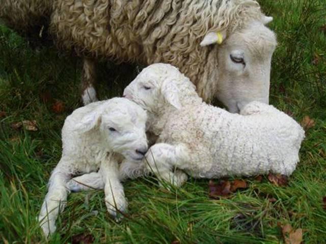 Сколько ходит беременная овца, как определить беременность и особенности окота: фото и видео сколько ходит беременная овца, как определить беременность и особенности окота: фото и видео