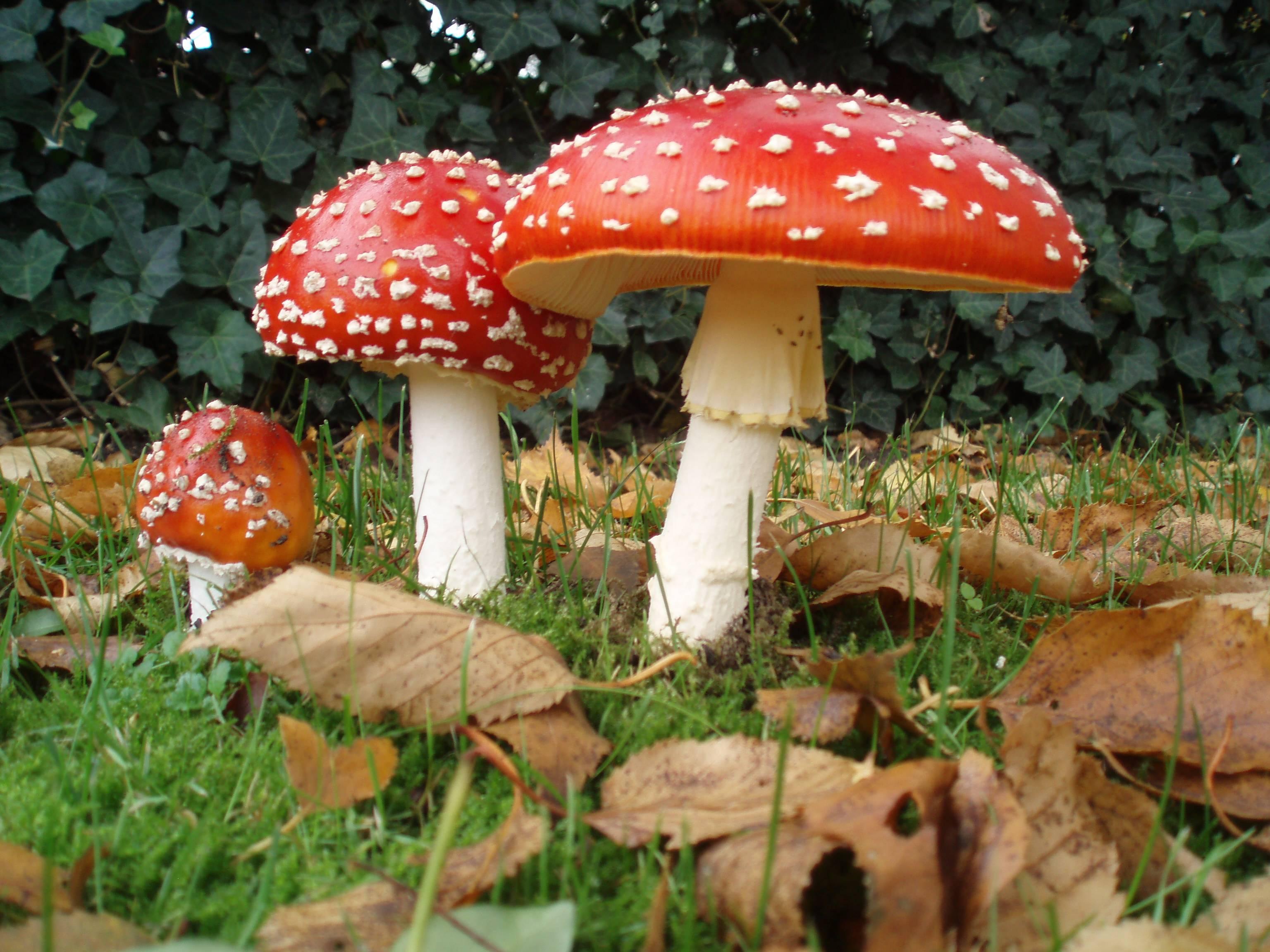 Ядовитый гриб мухомор: фото, применение в народной медицине, где растут несъедобные грибы