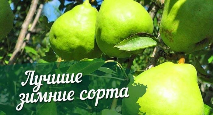 Лучшие сорта груш - фото, описания | зимние сорта груш для выращивания в беларуси