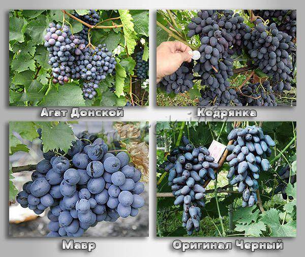 16 полезных для здоровья сортов винограда