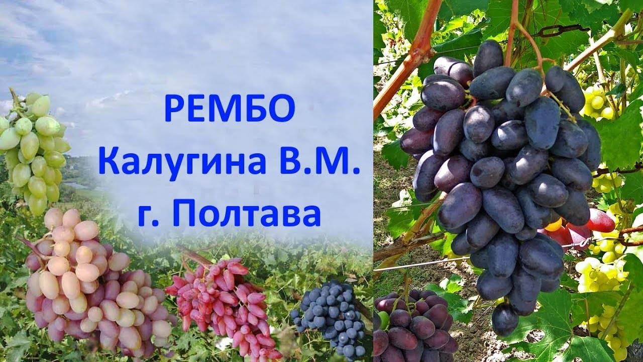 Виноград эмир: описание и характеристики сорта, особенности ухода и фото