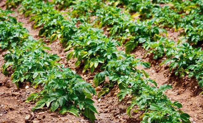 Картофель уладар: описание сорта, характеристика, выращивание и уход, отзывы и фото