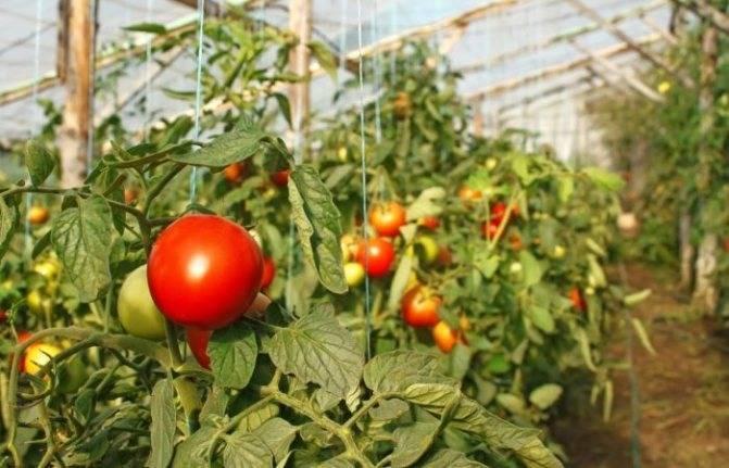 Как подвязать помидоры в теплице из поликарбоната - видео, схемы