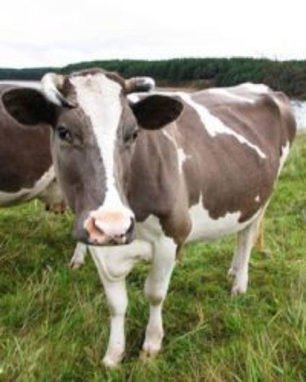 О костромской породе коров: описание и характеристики, содержание, уход