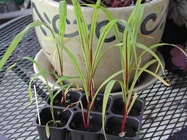 Пеннисетум – выращивание, посадка и уход