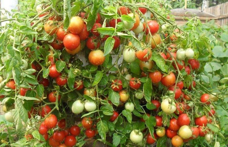 Характеристика томатов сорта Непас