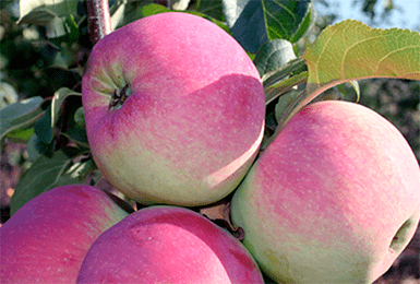 Лучшие сорта яблони для средней полосы россии с описанием, характеристикой и отзывами, а также особенности выращивания в данном регионе