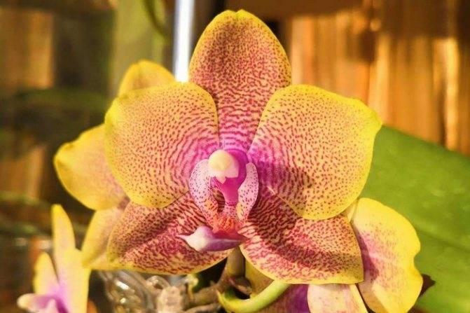 Фаленопсис: фото разных видов и сортов орхидей