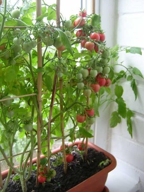 Как вырастить помидоры на балконе: подкормка, опыление, вредители