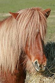 Шетлендский пони: история, описание, особенности   мои лошадки