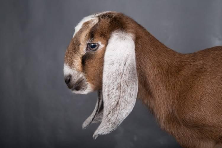 Нубийские козы – описание породы, происхождение, преимущества и существующие окрасы