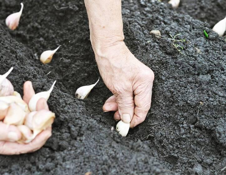 Правила и сроки посадки ярового чеснока весной