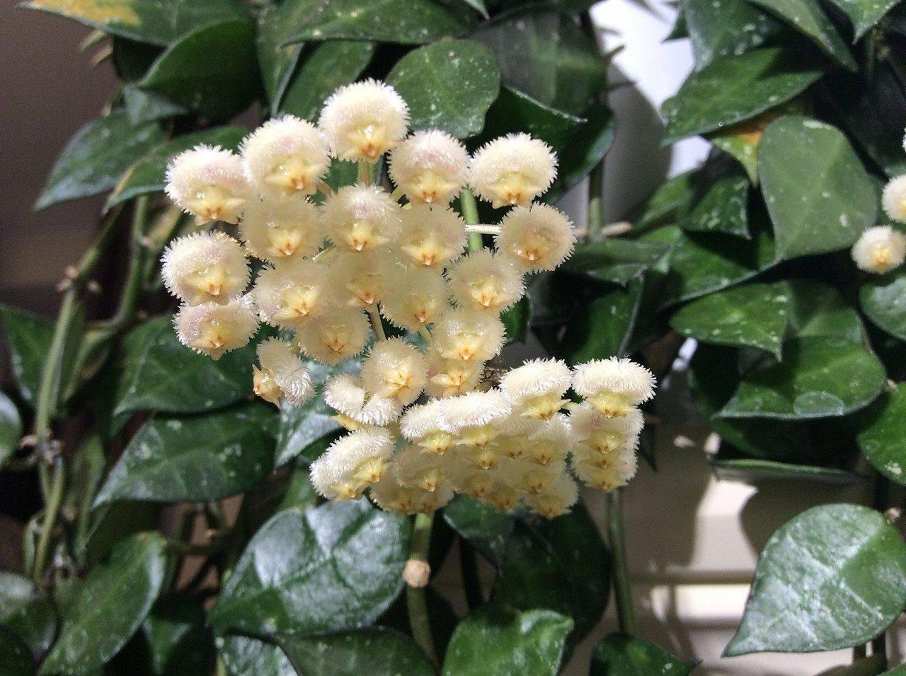 Уход в домашних условиях за растением – хойя (фото комнатного цветка)