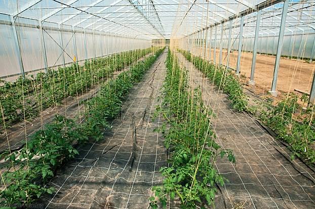 Какой должна быть глубина посадки томатов