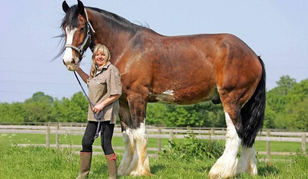 Самая тяжелая лошадь: порода, габариты, параметры, фото и видео