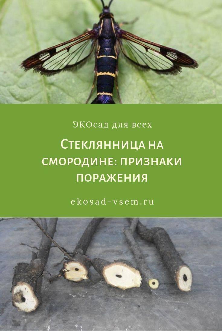 Смородиновый почковый клещ: меры борьбы на supersadovnik.ru