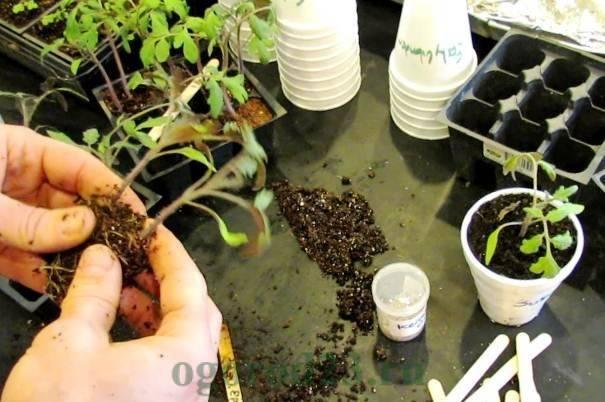 Как сажать рассаду томатов в открытый грунт: мгновенное решение