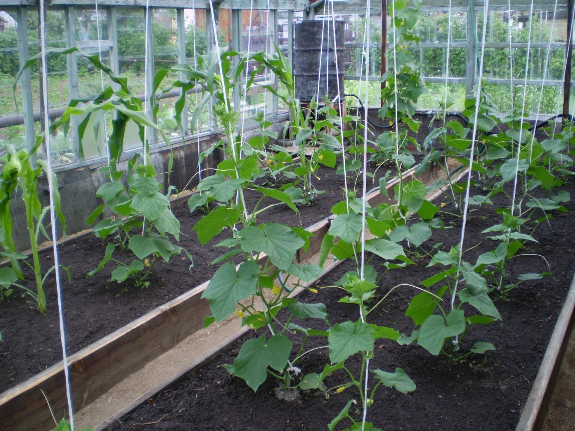 Огурцы паратунка: описание, выращивание, уход, фото