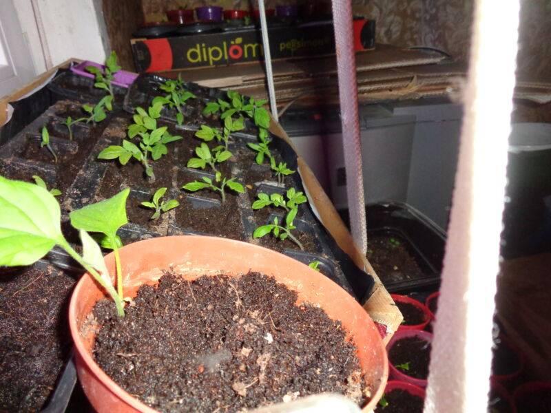 Посадка помидор в улитку юлии миняевой