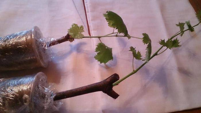 Сорт винограда надежда аксайская: фото, отзывы, описание, характеристики.