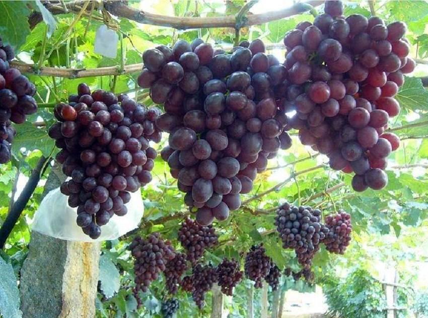 Виноград низина: описание сорта, фото, отзывы